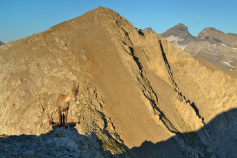 Bouquetins sur les Dents Blanches Occidentales